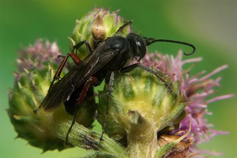 Aculeate Wasps : (Pompilidae) Episyron gallicum