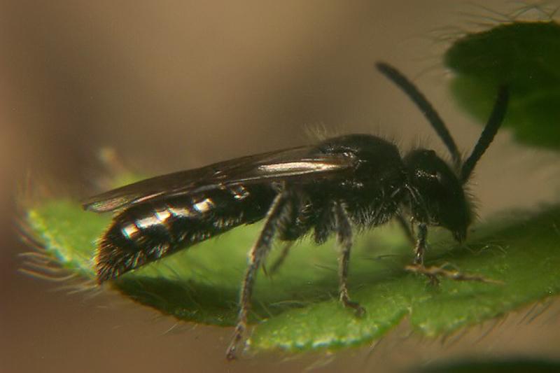 Bees : (Halictidae) Dufourea alpina