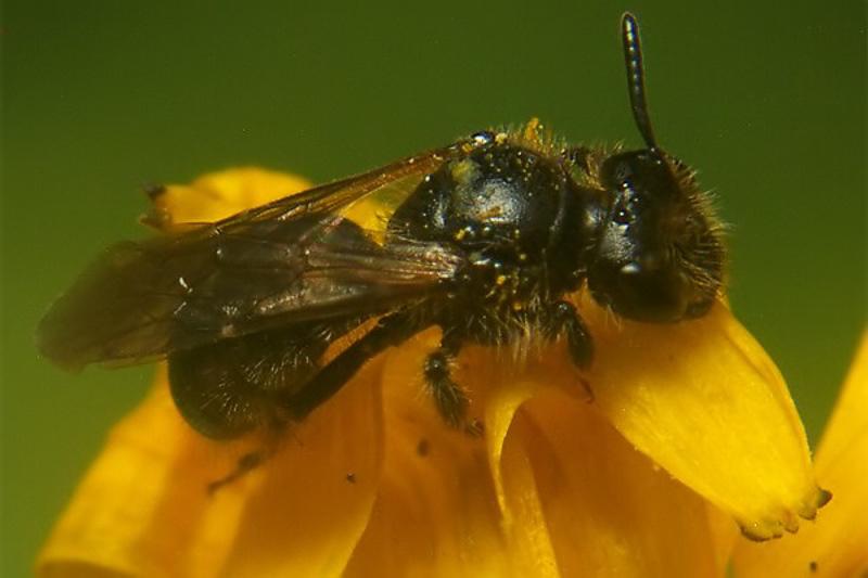Bees : (Andrenidae) Panurginus montanus