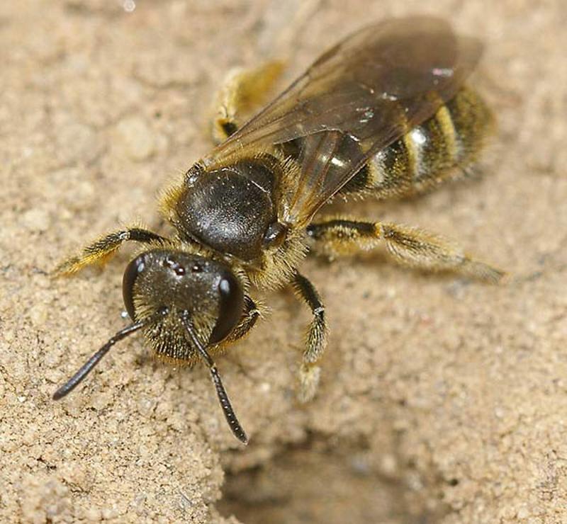 Bees : (Halictidae) Lasioglossum malachurum