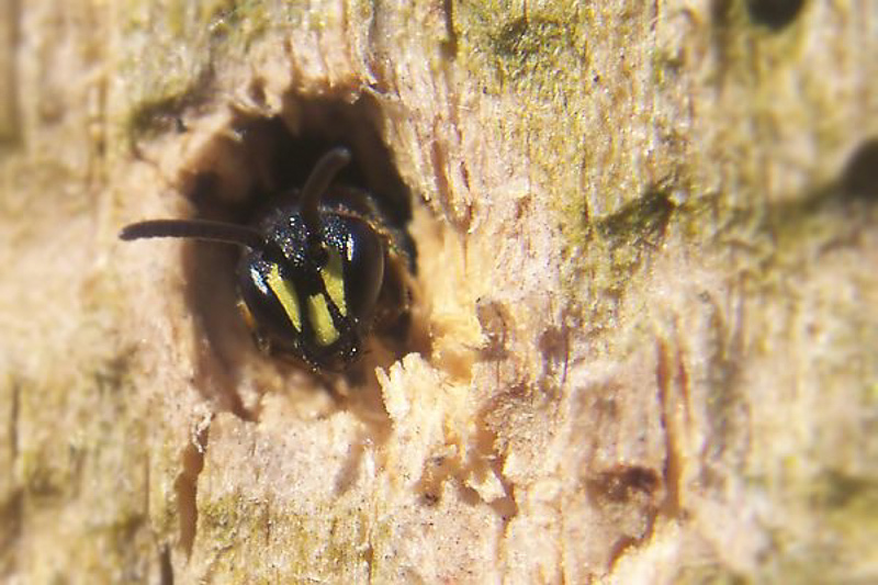 Bees : (Colletidae) Hylaeus communis