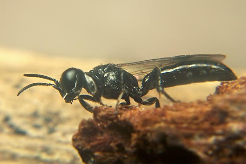 Aculeate Wasps : (Crabronidae) Crossocerus cetratus