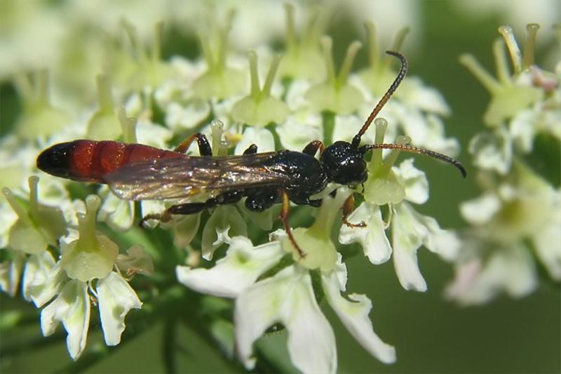 Ichneumonid and braconid wasps : (Ichneumonidae) Alomya debellator