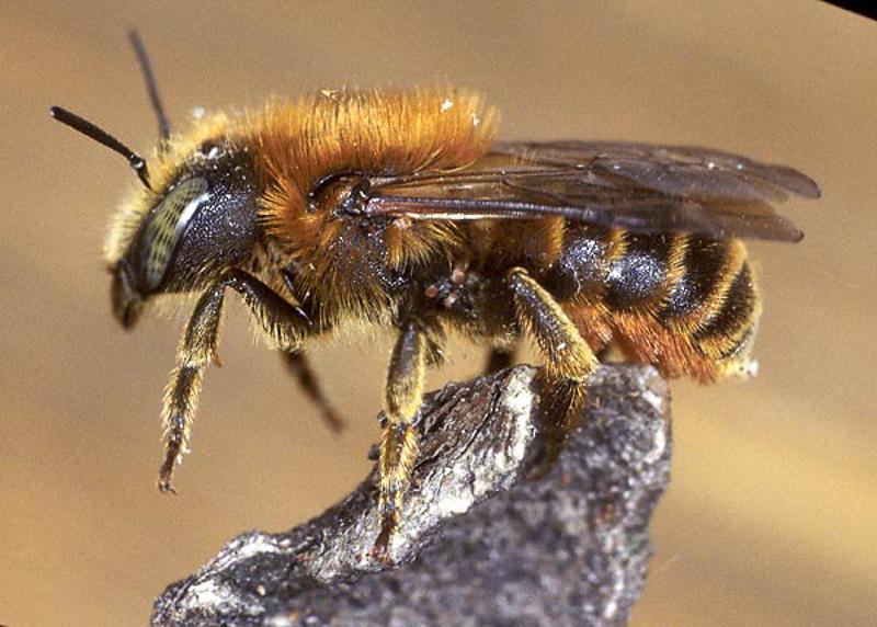 Bees : (Megachilidae) Osmia aurulenta