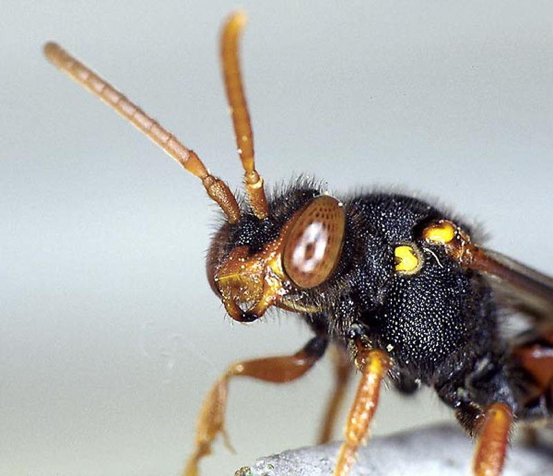 Bees : (Apidae) Nomada bifasciata