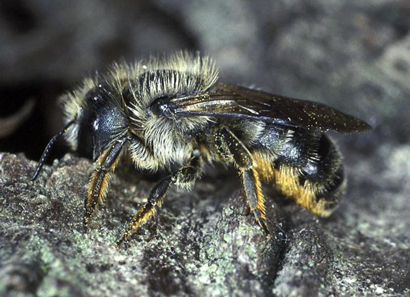 Bees : (Megachilidae) Osmia brevicornis