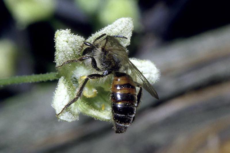 Bees : (Andrenidae) Andrena florea