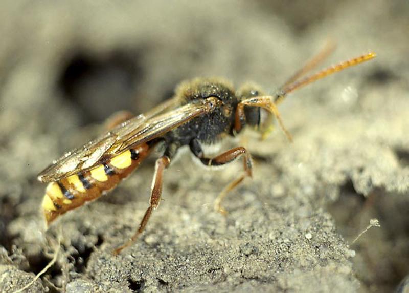 Bees : (Apidae) Nomada hirtipes