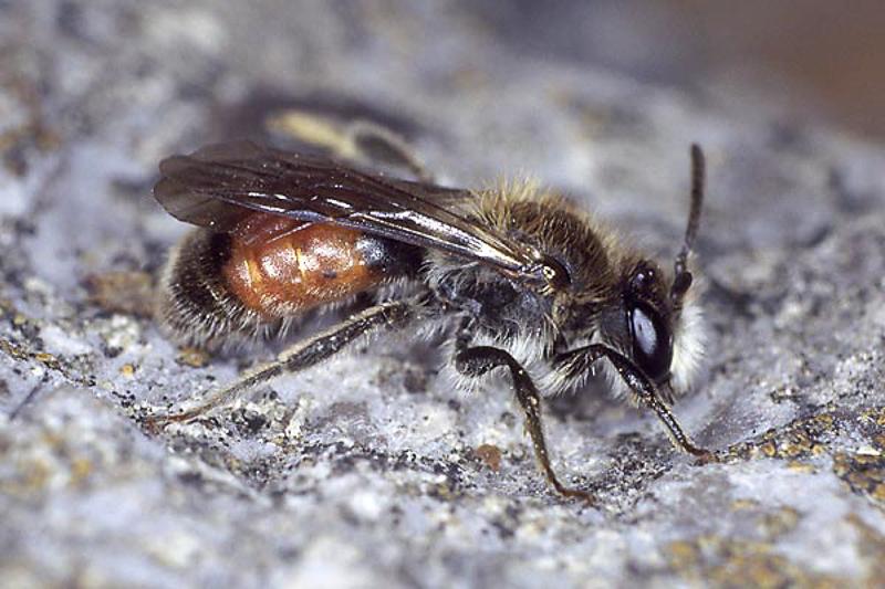 Bees : (Andrenidae) Andrena labiata