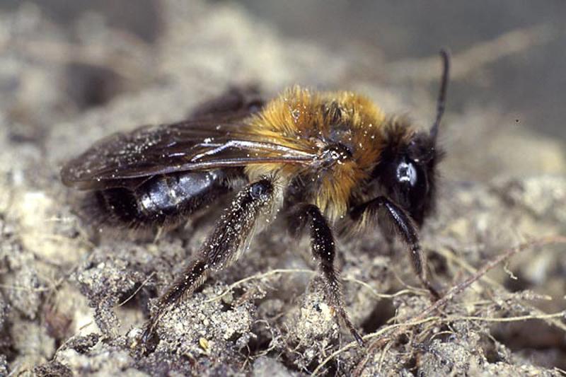 Bees : (Andrenidae) Andrena lapponica