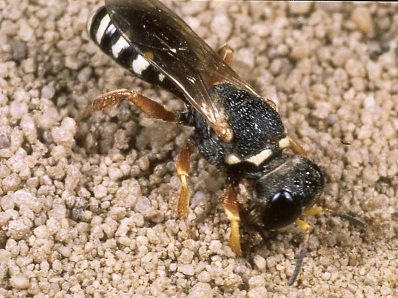 Aculeate Wasps : (Crabronidae) Lestica alata