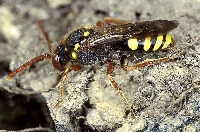 Bees : (Apidae) Nomada fulvicornis