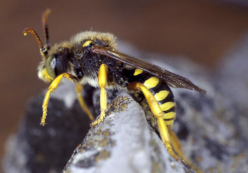 Bees : (Apidae) Nomada sexfasciata