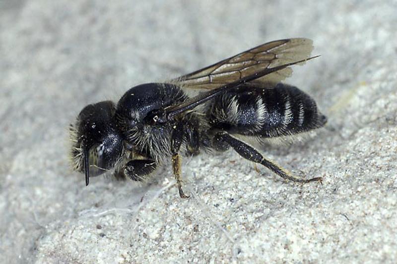 Bees : (Megachilidae) Hoplitis acuticornis