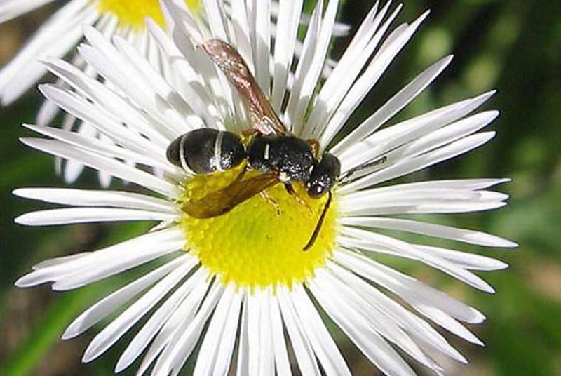 Aculeate Wasps : (Vespidae) Stenodynerus bluethgeni