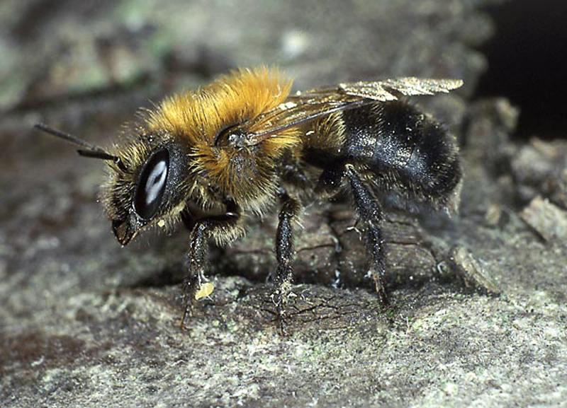 Bees : (Megachilidae) Osmia uncinata