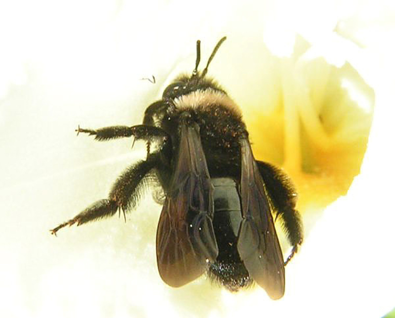 Bees : (Andrenidae) Andrena morio