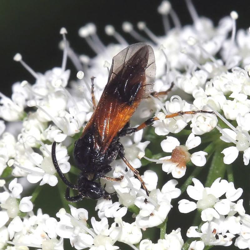 Sawflies and horntails : (Argidae) Arge cyanocrocea