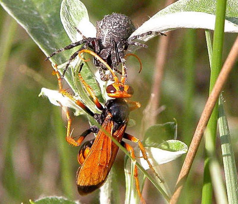 Aculeate Wasps : (Pompilidae) Heterodontonyx bicolor