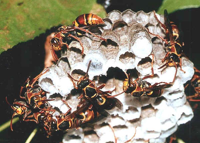 Aculeate Wasps : (Vespidae) Polistes humilis