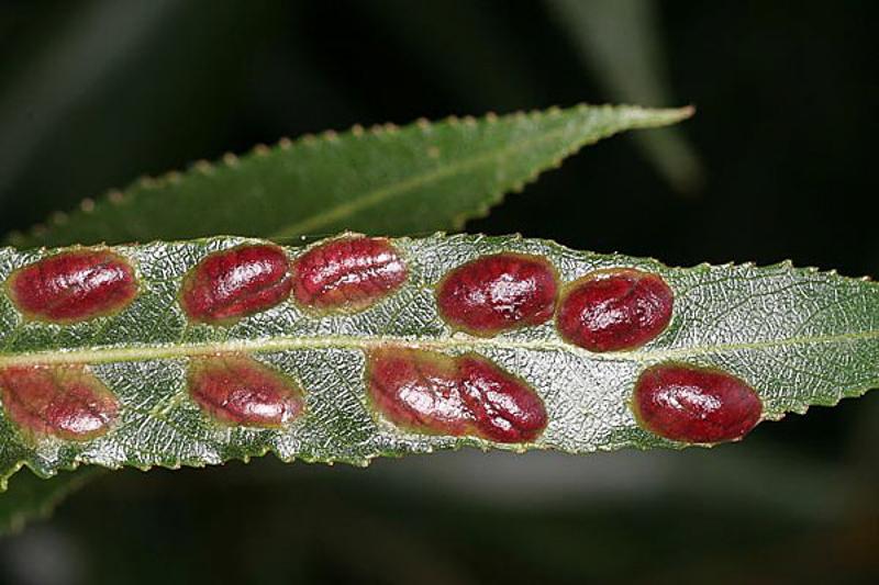Sawflies and horntails : (Tenthredinidae) Euura proxima