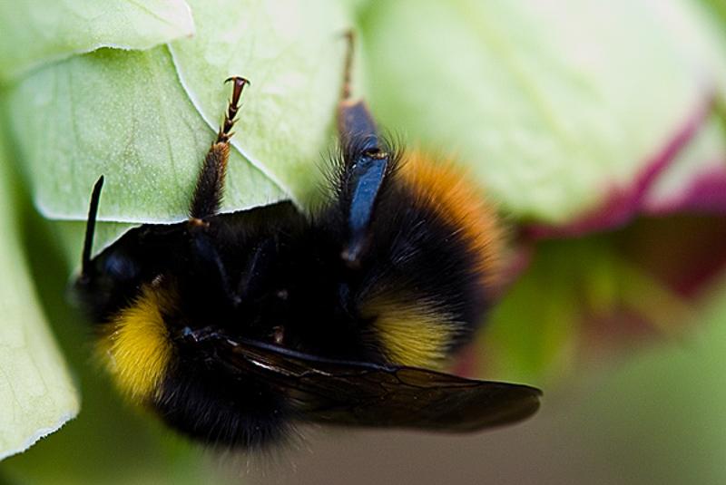 Bees : (Apidae) Bombus pratorum