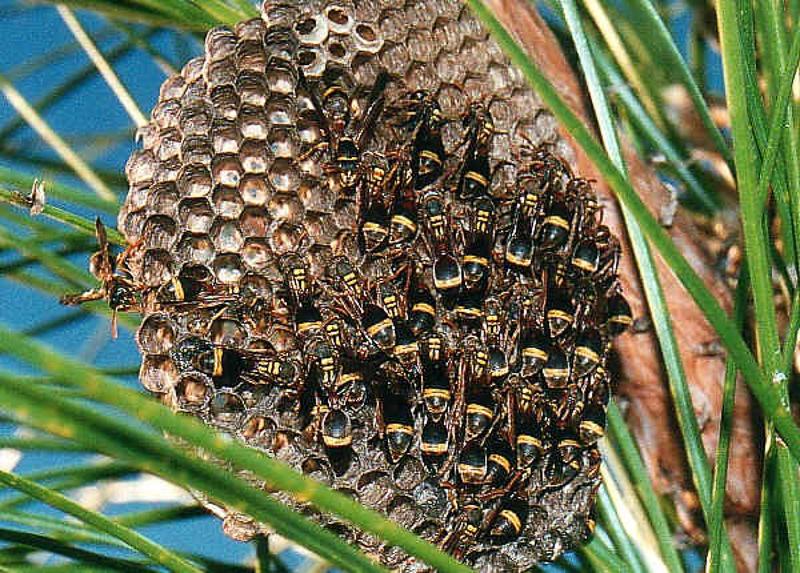 Aculeate Wasps : (Vespidae) Ropalidia gregaria