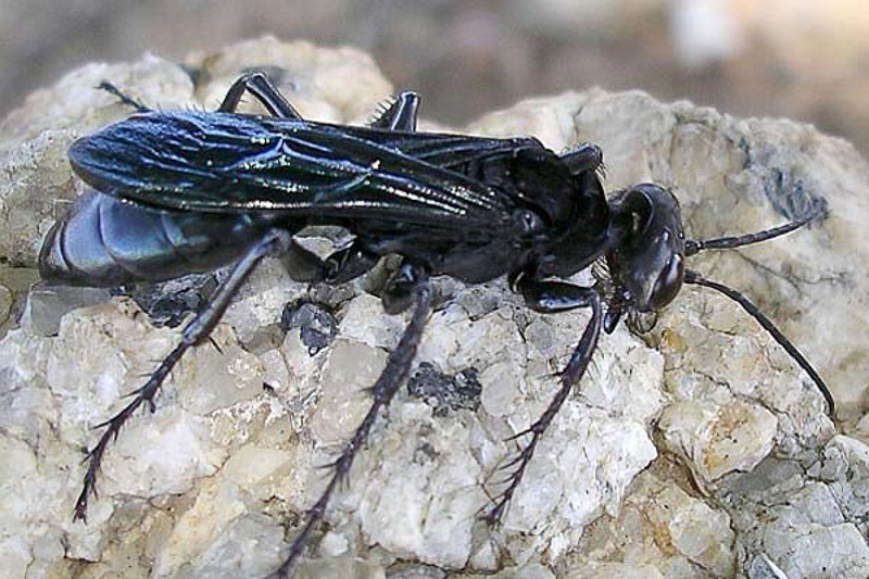 Aculeate Wasps : (Pompilidae) Hemipepsis vindex