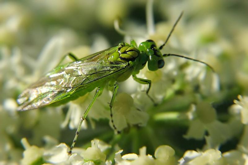 Sawflies and horntails : (Tenthredinidae) Rhogogaster punctulata