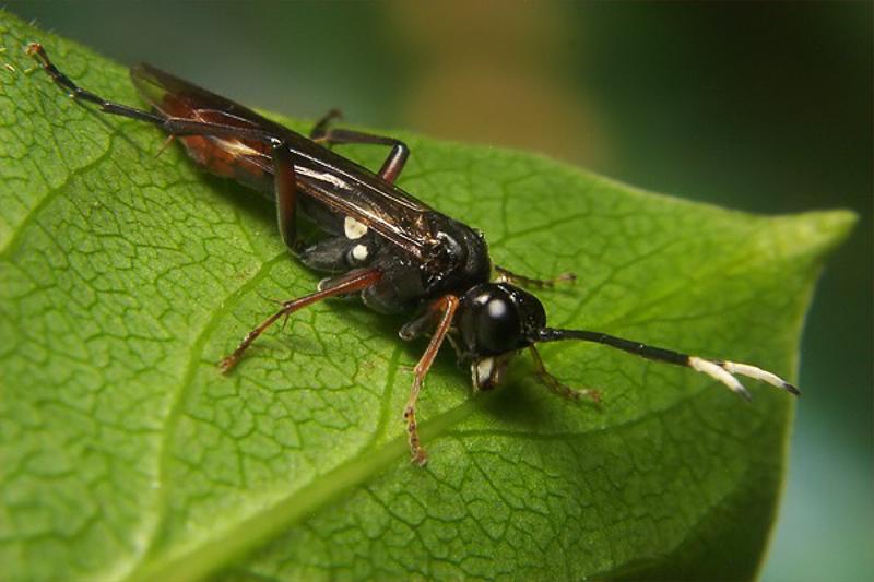 Sawflies and horntails : (Tenthredinidae) Tenthredo livida