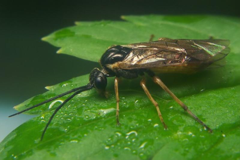Sawflies and horntails : (Tenthredinidae) Euura vaga