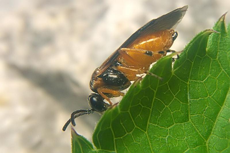 Sawflies and horntails : (Tenthredinidae) Athalia circularis