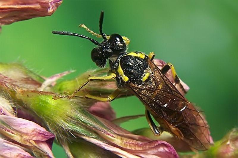 Sawflies and horntails : (Tenthredinidae) Tenthredo arcuata
