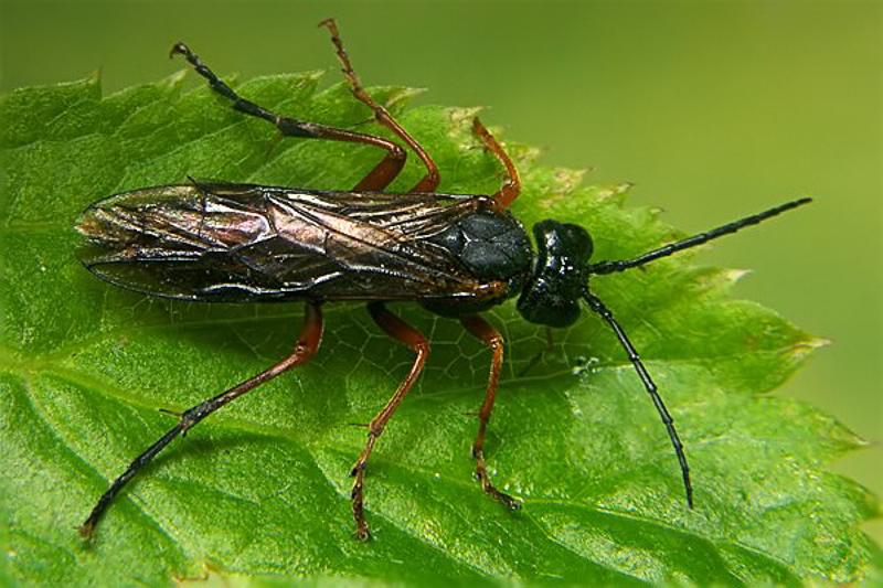 Sawflies and horntails : (Tenthredinidae) Tenthredo atra