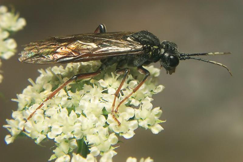 Sawflies and horntails : (Tenthredinidae) Tenthredo balteata