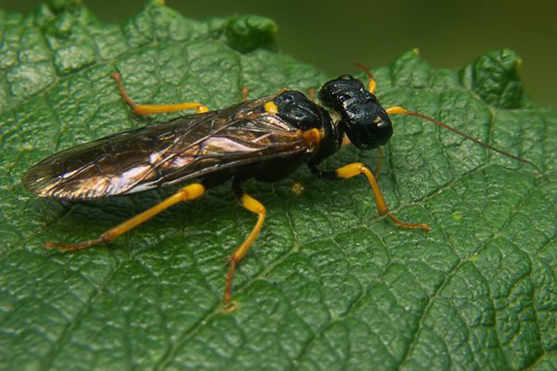 Sawflies and horntails : (Pamphiliidae) Pamphilius fumipennis