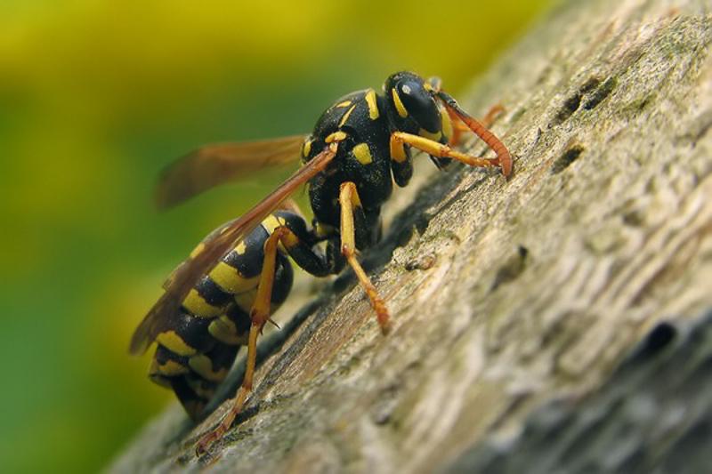 Aculeate Wasps : (Vespidae) Polistes dominula