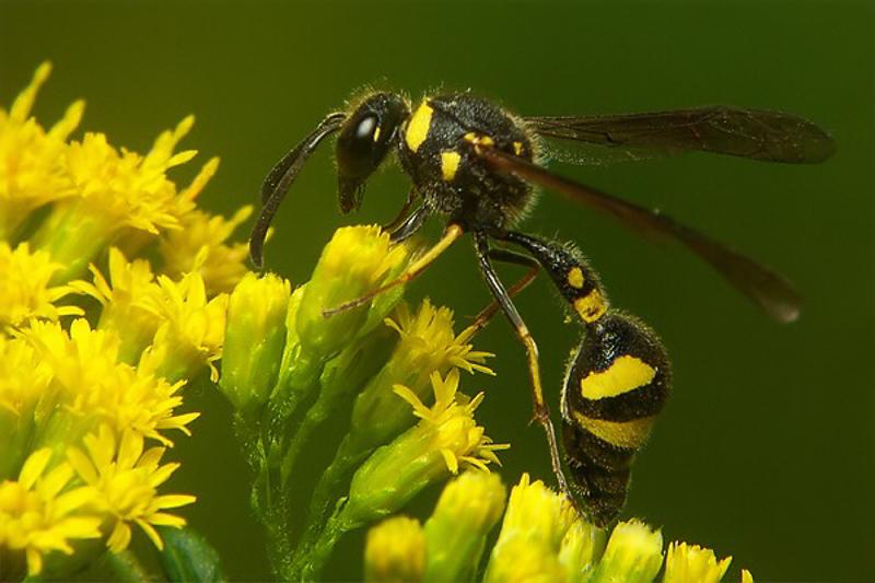 Aculeate Wasps : (Vespidae) Eumenes coronatus
