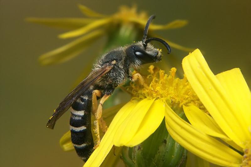 Bees : (Apidae) Halictus scabiosae
