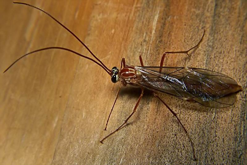 Ichneumonid and braconid wasps : (Ichneumonidae) Ophion obscuratus