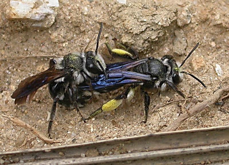 Bees : (Andrenidae) Andrena agilissima