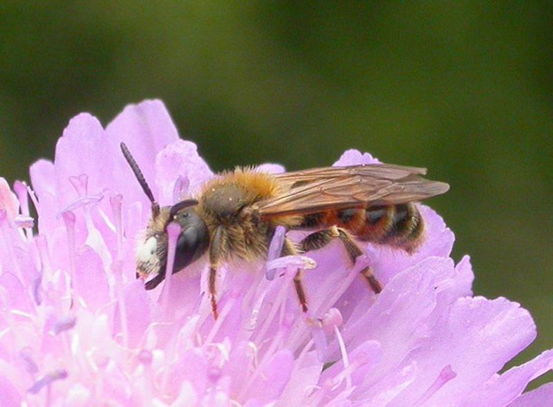 Bees : (Andrenidae) Andrena hattorfiana