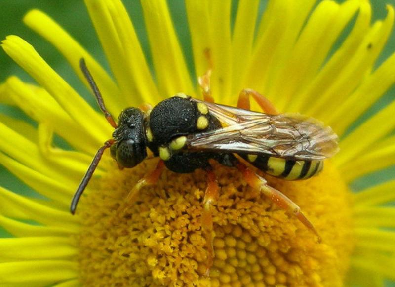 Bees : (Apidae) Nomada flavopicta