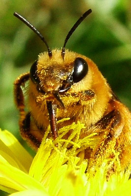 Bees : (Melittidae) Melitta aegyptiaca