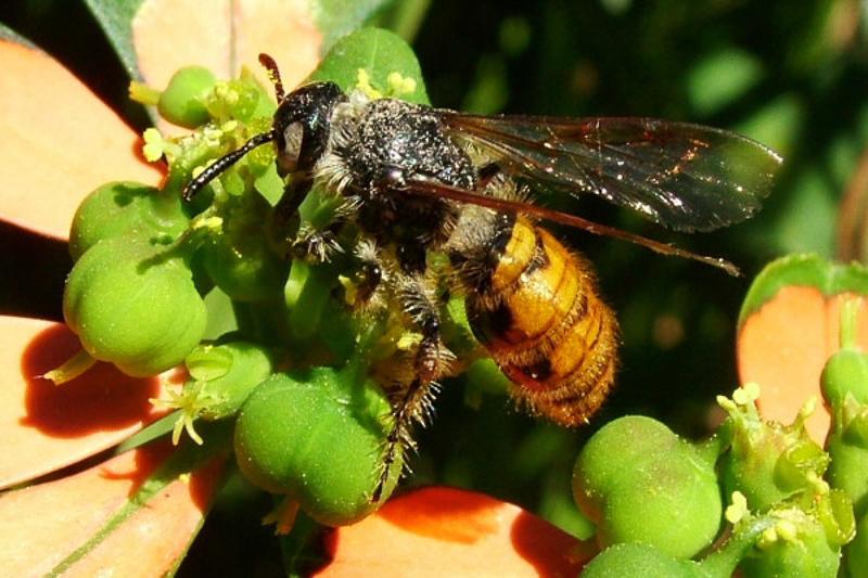 Aculeate Wasps : (Scoliidae) Micromeriella aureola