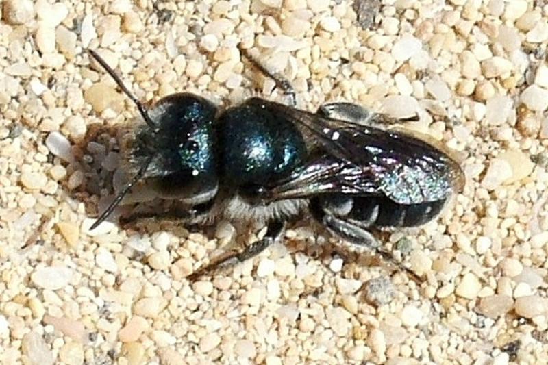 Bees : (Megachilidae) Osmia submicans