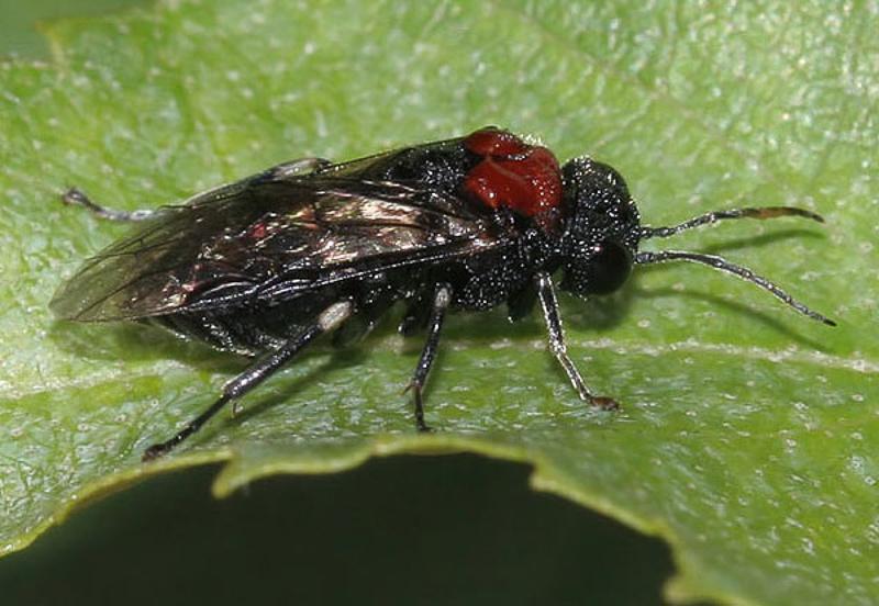Sawflies and horntails : (Tenthredinidae) Eriocampa ovata