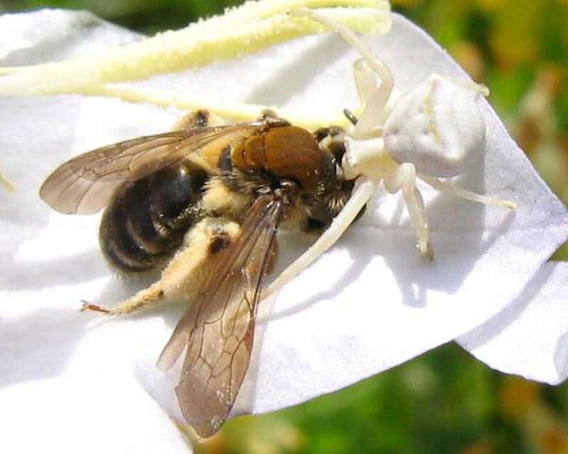 Bees : (Andrenidae) Andrena curvungula