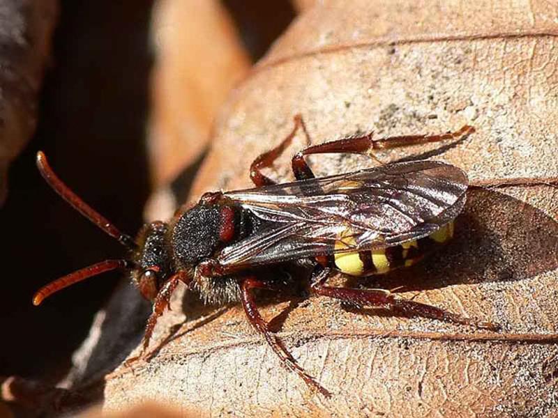 Bees : (Apidae) Nomada leucophthalma