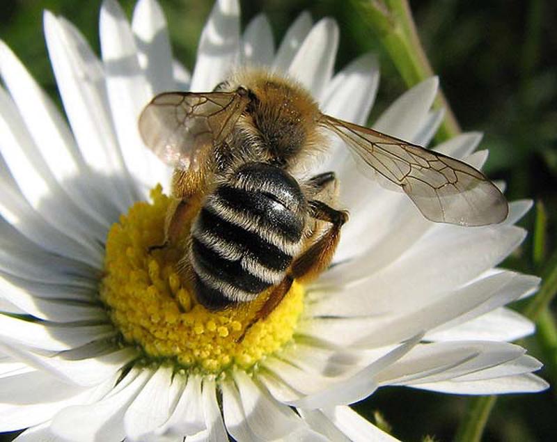 Bees : (Andrenidae) Andrena gravida